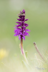 Point de Hongrie (Erynnis tages) sur une orchis mâle (Orchis mascula)