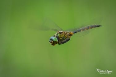 Cordulie à tâches jaunes (Somatochlora flavomaculata)