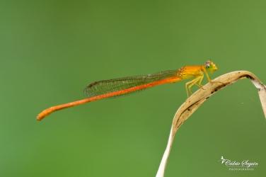 Demoiselle d'étang (Ceriagrion glabrum)