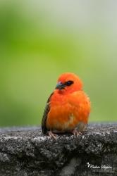 """Cardinal"" / Foudi de Madagascar (Foudia madagascariensis)"