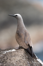 """Macoua"" / Noddi brun (Anous stolidus pileatus)"