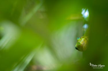 Gecko vert poussière d'or (Phelsuma laticauda)