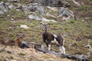 Mouflon (Ovis gmelini musimon x Ovis sp)