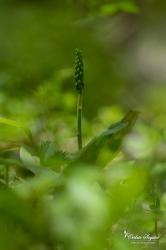 Listère ovale (Listera ovata)