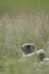 Marmotton (Marmotta marmotta)