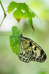 Grand planneur (Idea leuconoe) - La Ferme aux papillons (26)