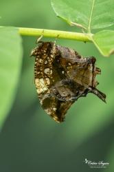 Hypna clymnestra - La Ferme aux papillons (26)