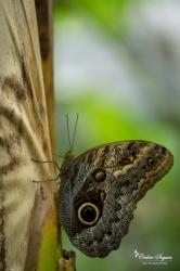 Hibou (Caligo eurilochus) - La Ferme aux papillons (26)