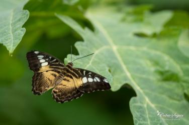 Parthenos sylvia / Forme brune des Philippines - La Ferme aux papillons (26)