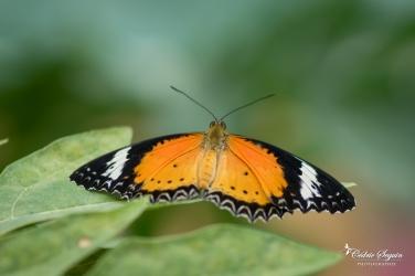 Cethosia cyane - La Ferme aux papillons (26)
