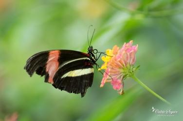 Heliconius melpomene - La Ferme aux papillons (26)