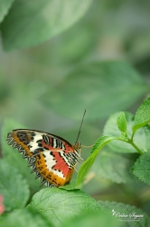 Cethosia hypsea - La Ferme aux papillons (26)