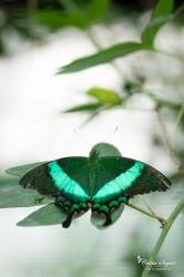 Machaon émeraude (Papilio palinurus) - La Ferme aux papillons (26)