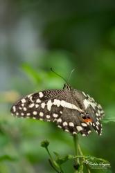 Papilio demodocus - La Ferme aux papillons (26)