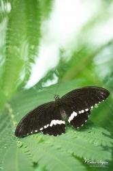 Mormon (Papilio polytes) - La Ferme aux papillons (26)