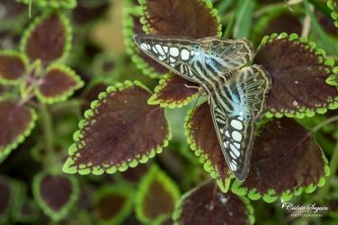 Parthenos sylvia / Forme bleue de Malaisie - La Ferme aux papillons (26)