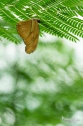 Flambeau (Dryas iulia) - La Ferme aux papillons (26)