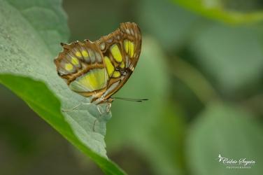 Malachite (Siproeta stelenes) - La Ferme aux papillons (26)