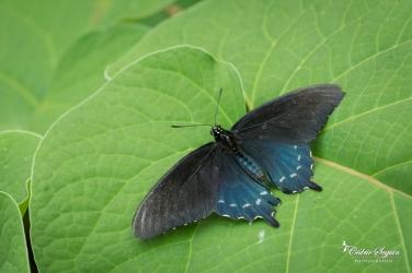 Battus philenor - La Ferme aux papillons (26)