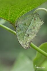 Le Perlé (Protogoniomorpha parhassus) - La Ferme aux papillons (26)