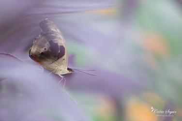 Cordonnier grec (Catonephele numilia) - La Ferme aux papillons (26)