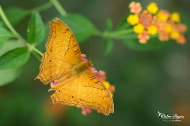 Cruiser malais (Vindula dejone) - La Ferme aux papillons (26)