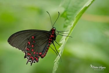 Parides photinus - La Ferme aux papillons (26)