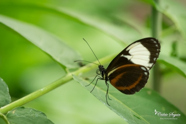 Heliconius cydno - La Ferme aux papillons (26)