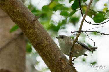 """""""Zoizo blanc"""" / Oiseau-lunette gris (Zosterops borbonicus borbonicus)"""