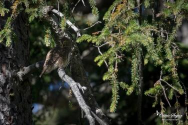 Chevêchette d'Europe (Glaucidium passerinum)