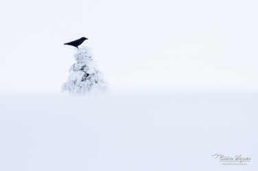 Grand corbeau (Corvus corax)