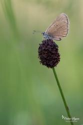 Azuré des paluds (Maculinea nausithous)