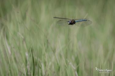 Aeschne azurée (Aeshna caerulea)