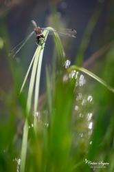 Leucorrhine douteuse (Leucorrhinia dubia)