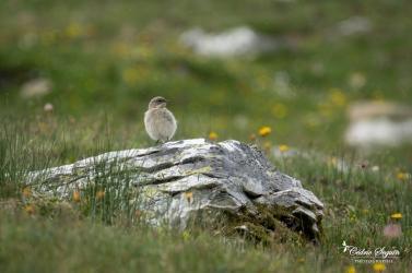 Niverolle alpine (Montifringilla nivalis)