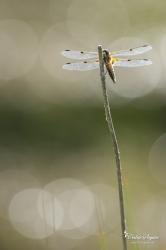 Libellule à quatre taches (Libellula quadrimaculata)