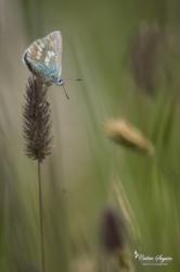 Azuré alpin (Albulina orbitulus)