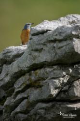Monticole de roche (Monticola saxatilis)