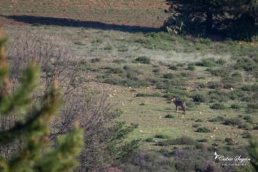 Loup ibérique (Canis lupus signatus)