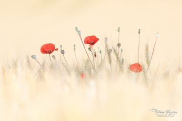Apparition de Coquelicots
