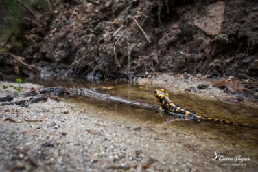 Salamandre de Corse (Salamandra corsica)