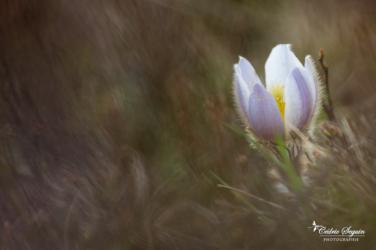 Pulsatille printanière (Anemone vernalis)