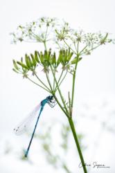 Agrion jouvencelle (Coenagrion puella)