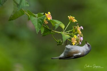 Oiseau-lunette gris (Zosterops borbonicus borbonicus)