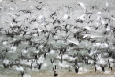 Envolée contrastée (Mouettes rieuses et Grands cormorans)