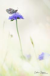 Nacré des renouées (Boloria napaea)