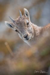 Bouquetin des Alpes (Capra ibex)