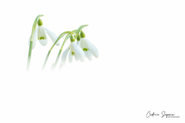 Perce neige (Galanthus nivalis)