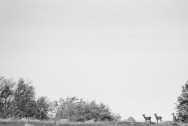 Cerf élaphe (Cervus elaphus)