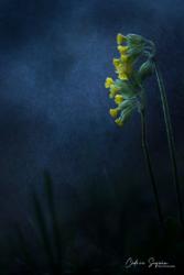 Primevère officinale (Primula veris)